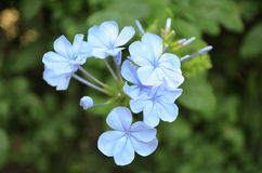 Blue Flowers. With a green and blurred background Stock Photos