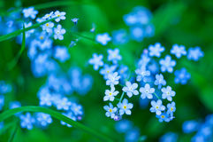 Blue flowers. In green grass royalty free stock photography