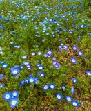 Blue flowers on the green grass ground stock photos