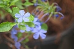 Blue flowers on a green leaf plant. Five Petaled Blue Flowers In a Green Leafed Plant with out of focus flowerpot behind Stock Images