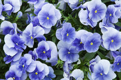 Blue flowers. With green leaves Stock Images