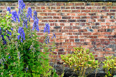 Blue flowers with green leaves against old brick wall background Stock Photo
