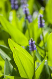 Blue flowers among green leaves Royalty Free Stock Image