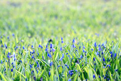 Blue flowers on green summer grass in field Stock Photo