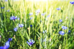 Blue flowers on green summer meadow. Herbal and flower on spring field. Nature background.  royalty free stock images