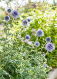 Blue flowers growing in garden. Blue beautiful flowers growing in green garden Royalty Free Stock Photography