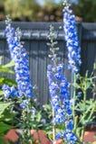 Blue flowers growing in garden. Blue beautiful flowers growing in green garden Royalty Free Stock Photos