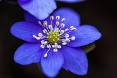 Macro of blue flowers of Hepatica. Top view royalty free stock photography