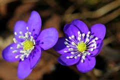 Blue Flowers of Hepatica nobilis. A macro view of two Hepatica nobilis flowers in spring. Photographed in Halikko, Finland April 2011 Royalty Free Stock Photo