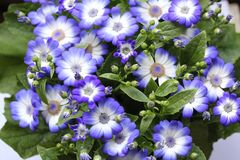 Blue flowers in the home garden 6 royalty free stock photo