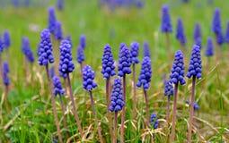 Blue flowers - hyacinth Stock Image