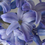Blue flowers hyacinths background. Closeup hyacinths flowers violet purple blue Royalty Free Stock Photography