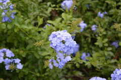 Blue flowers - Hydrangea Stock Photos