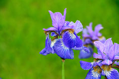 Blue flowers iris. On green background stock photography