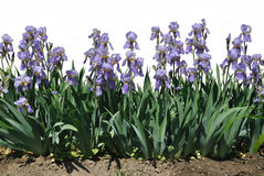 The blue flowers of iris Stock Images
