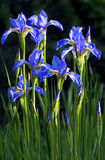 Blue flowers Irises. Blue flowers Irises grow in the summer in the garden royalty free stock photo