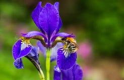 Blue flowers irises and bumblebee close-up Stock Photos