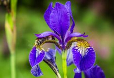 Blue flowers irises and bumblebee close-up Stock Photography