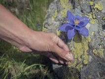 Blue Flowers in a kids hand royalty free stock photos