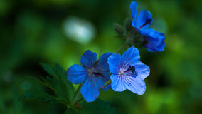 Blue flowers. Late afternoon sunlight shimmers on these blue blossoms found along a lakeshore in southeastern Alaska Stock Images