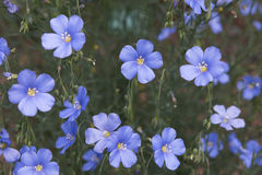 Blue flowers of Lewis flax on blury green background Royalty Free Stock Images
