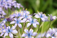 Blue flowers stock image