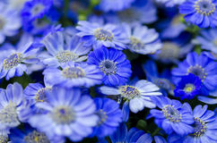 Blue flowers. Lot of little blue flowers bloomed together Stock Photo