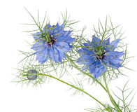 Blue flowers of Love-in-a-mist. Nigella damascena. Isolated. Beautiful spring annual. Blue cottage garden plant Royalty Free Stock Images