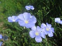 Blue flowers. Many blue flowers on the slopes of mount Beshtau Stock Photo
