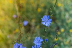 Blue flowers on the meadow stock photography
