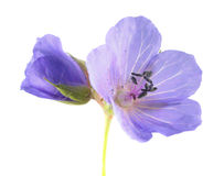 Blue flowers of meadow cranesbill or Geranium pratense isolated on white background Stock Image