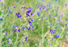 Blue Flowers in the Meadow Royalty Free Stock Photography
