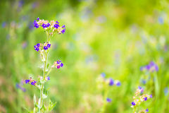 Blue Flowers in the Meadow Royalty Free Stock Photo