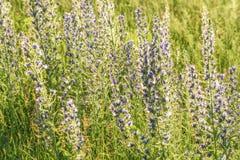 Blue flowers meadow sunlight Echium vulgare Royalty Free Stock Photos