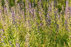 Blue flowers meadow sunlight Echium vulgare Royalty Free Stock Photography
