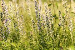 Blue flowers meadow sunlight Echium vulgare Royalty Free Stock Photo
