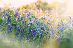 Blue flowers in meadow Royalty Free Stock Photos