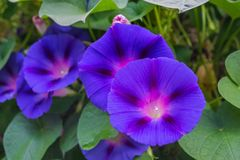 Blue flowers of morning glory on the background of leaves stock photo