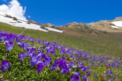 Blue flowers on a mountain slope Royalty Free Stock Image