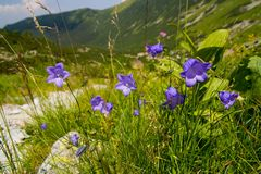 Blue Flowers In The Mountains stock photo