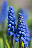 Blue Flowers Murine Hyacinth Buds Stock Images
