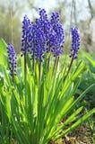 Blue flowers. Mus cari. Royalty Free Stock Photos