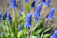 Blue charm, bright Blue flowers Muscari, royalty free stock photos