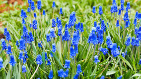 Blue flowers Muscari on a green background