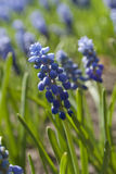Blue flowers Muscari or murine hyacinth buds and leaves Royalty Free Stock Image