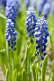 Blue flowers Muscari or murine hyacinth buds and leaves Stock Photography