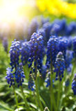 Blue flowers Muscari or murine hyacinth buds and leaves Royalty Free Stock Photography