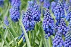 Blue flowers (Muscari Neglectum) Stock Photos
