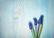 Blue flowers muscari Stock Images
