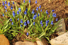 Blue flowers muscari Royalty Free Stock Photography